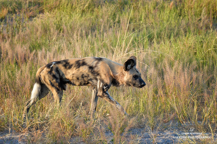wild-dog-Savuti-Marsh