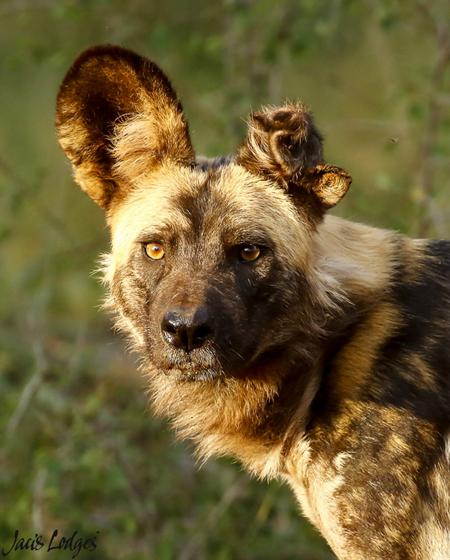 wild-dog-missing-an-ear