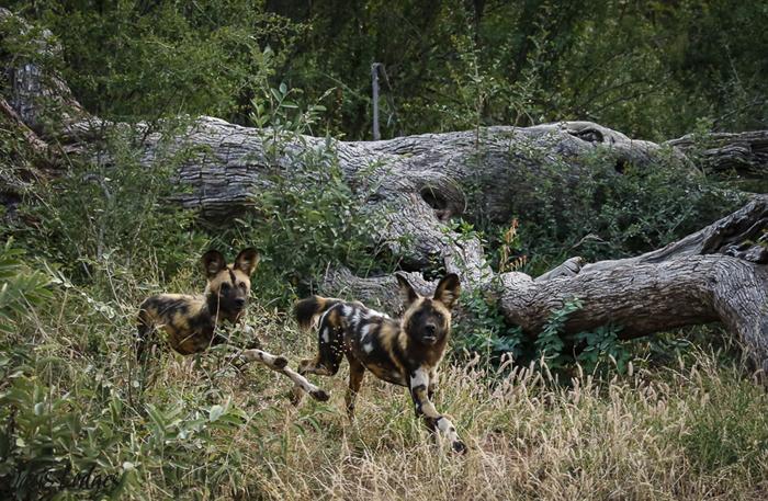 wild-dog-pair