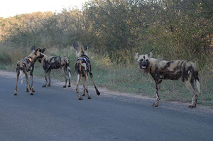 One of the wild dog packs found in the KNP