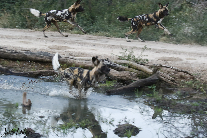 wild-dogs-running