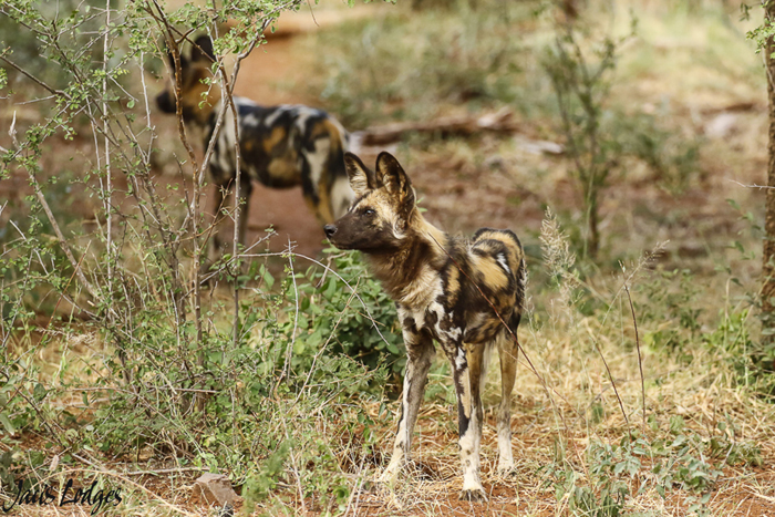 wild-dogs-scouting