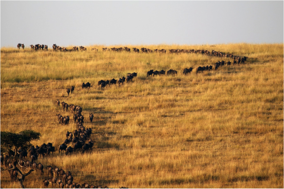 wildebeest migration line