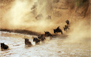 wildebeest water migration