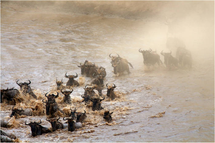 wildebeest water