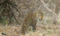 12.Leopard-nanzhila-plains