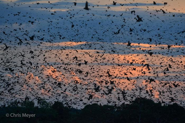 bat-migration-kasanka