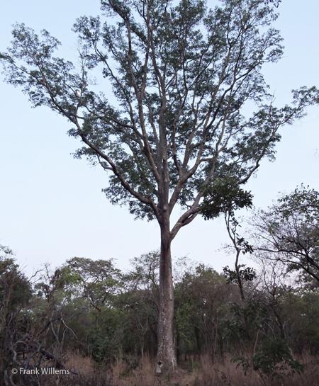 zambias-tallest-tree