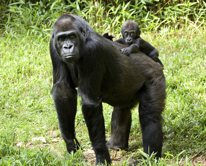 Baby-gorilla-on-mothers-back