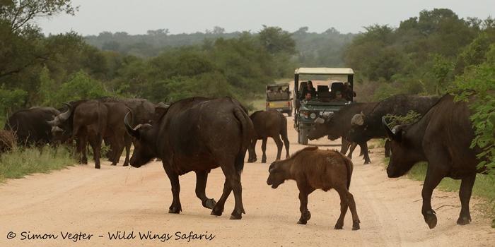 Buffalo-crossing-at-Kruger-National-Park