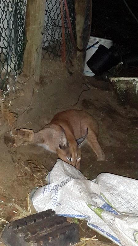 Caracal-urban-wildlife-trap