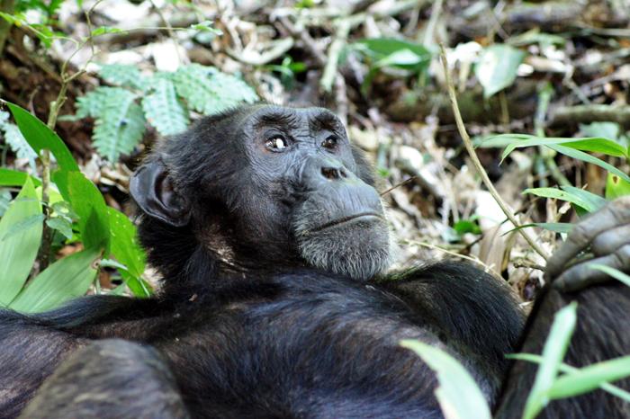 Chimpanzee-wildlife-funeral