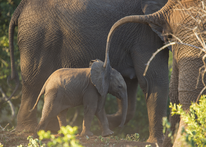 The Other Reason For The Unrest Was A Large Unruly Bull Elephant In Musth Musth Is Condition Elephants When They Have Amounts Of