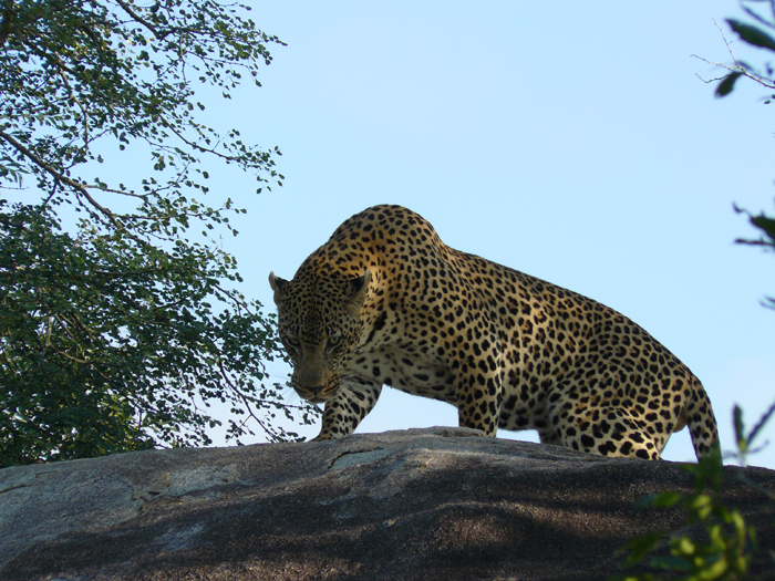 Female-leopard-mating-ritual