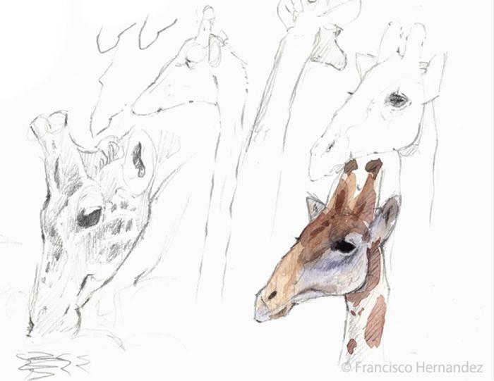 Giraffes-drawing