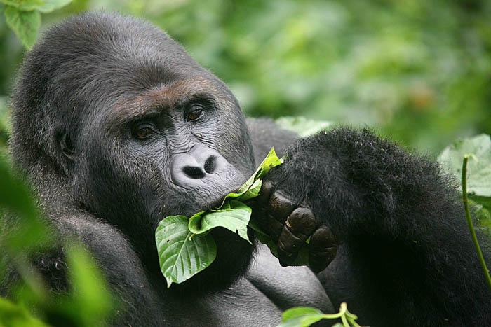 Gorilla-eating