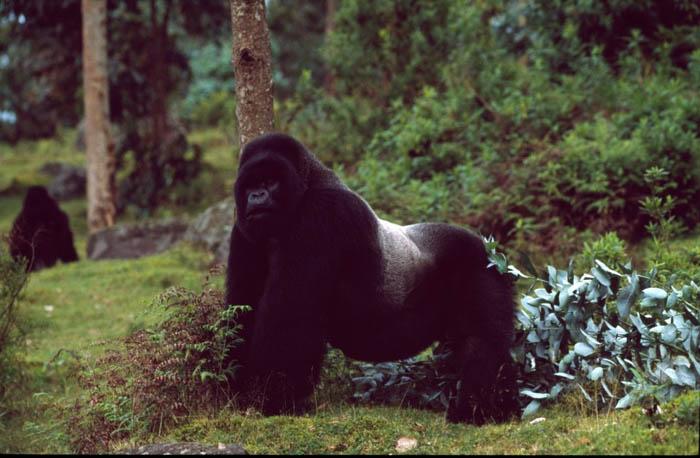 Gorilla-silverback-male