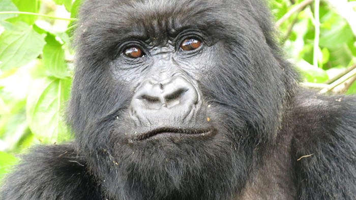 Gorilla-stare