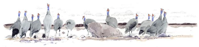 Guineafowl in Etosha