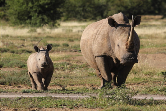 Baby-rhino-and-mother