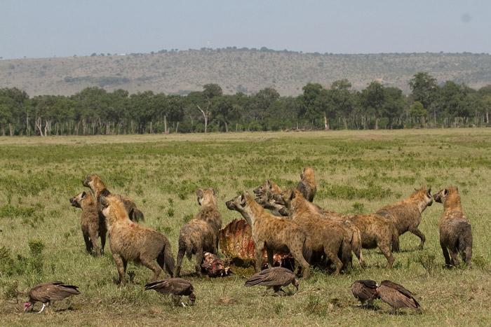Hyena-on-Marsh-Pride-Kill