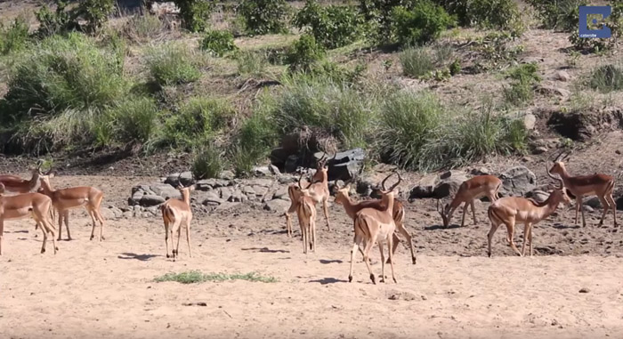 Impala-herd-before-leopard-attack
