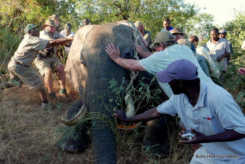 pushing-over-sedated-elephant