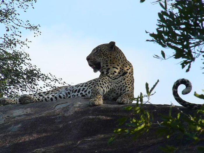 Leopards-Mating-on-rock