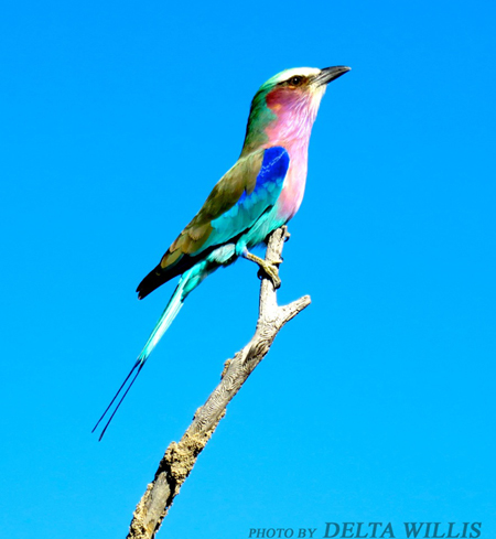 Lilac-breasted-roller-on-branch