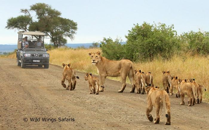 Lion-family-on-safari-at-Kruger-National-Park
