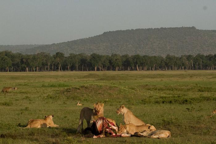 Lions-on-Buffalo