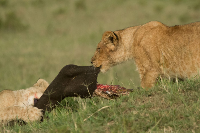 Marsh-Pride-Lions-on-Buffalo