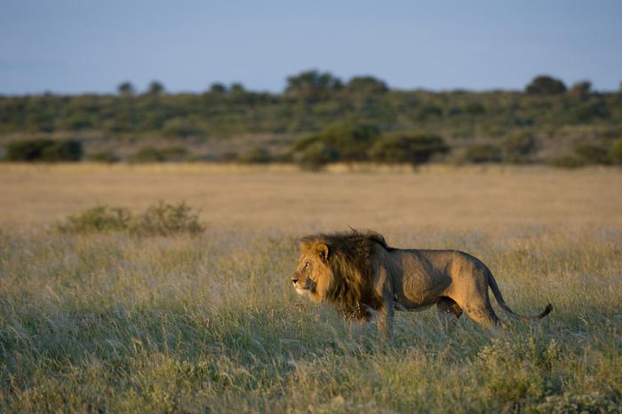 lion-sighting-on-self-drive-safari-in-botswana