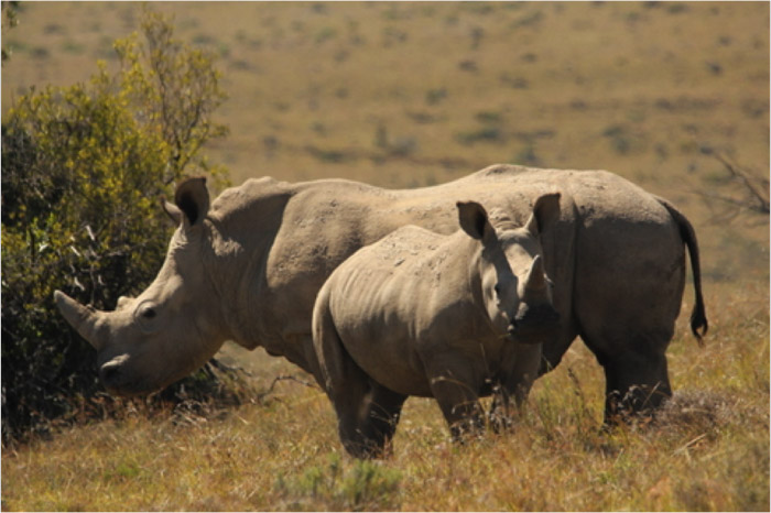 male-rhinos
