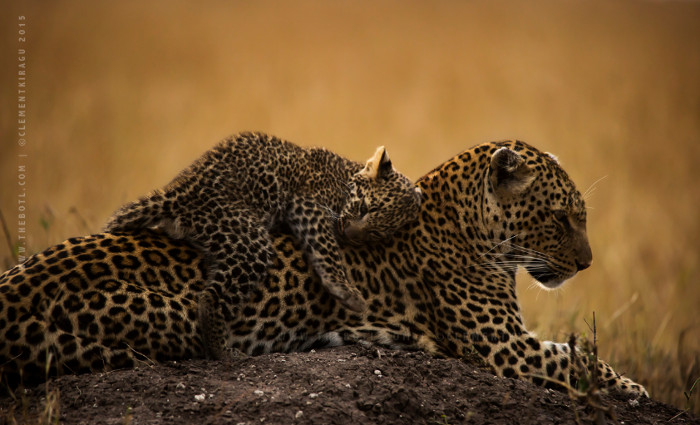 Leopard Cub Bonding Africa Geographic