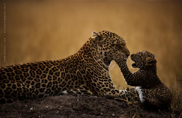 leopard-cub-mara-maasai-kenya