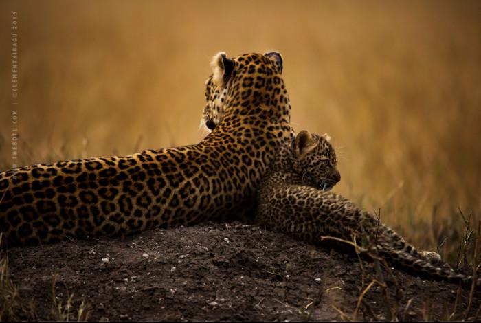 leopard-cub-mara
