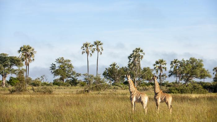 giraffe-sighting-on-self-drive-safari-in-botswana