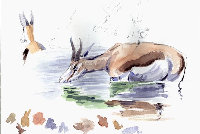Springbok Drinking by Francisco Hernandez