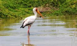 Yellow-billed-stork-in-Lake-Turkana