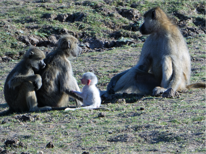 Video: A snow white baby baboon - Africa Geographic
