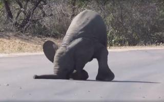 baby-elephant-faceplant