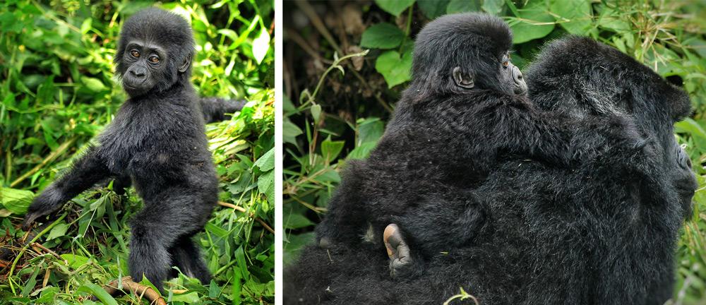 baby-mountain-gorilla-jytte-fredholm-ferreira