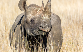 black-rhino-poacher
