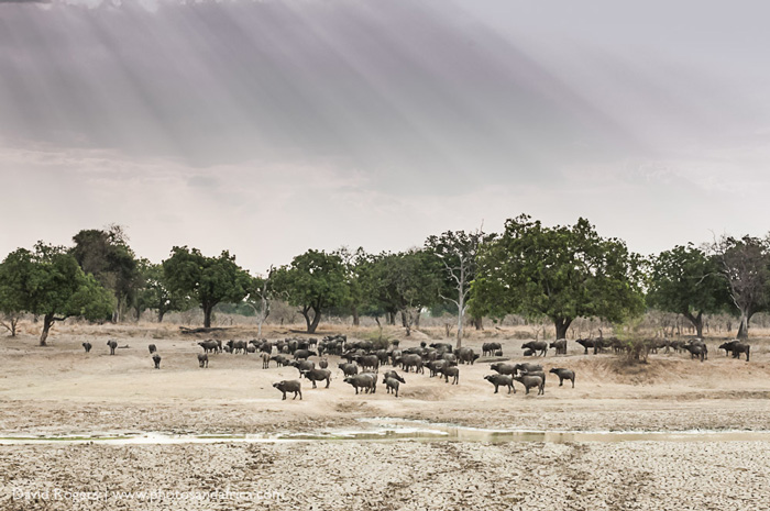 Herds of buffalo come to drink at Luangwa wafwa ©David Rogers