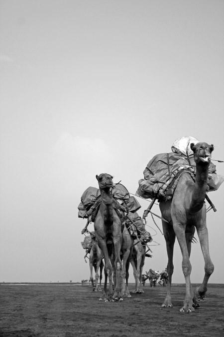 camels-ethiopia