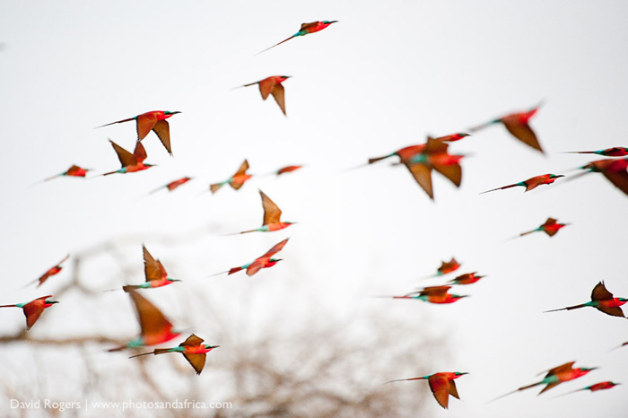 carmine-bee-eaters-south-luangwa