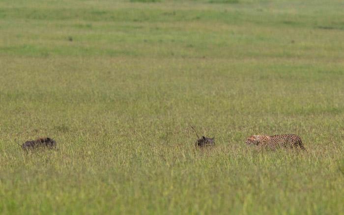 cheetah-hunting-warthogs-kenya