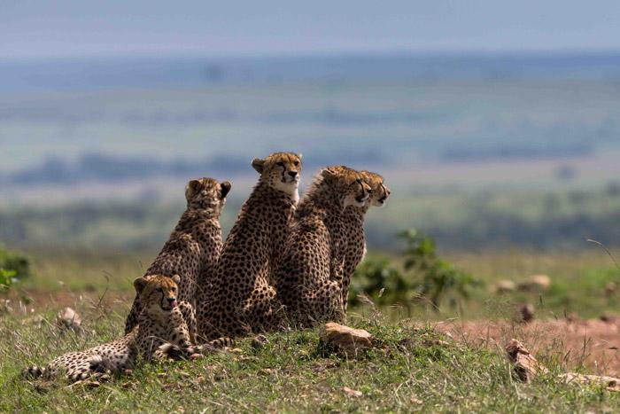 cheetah-kenya