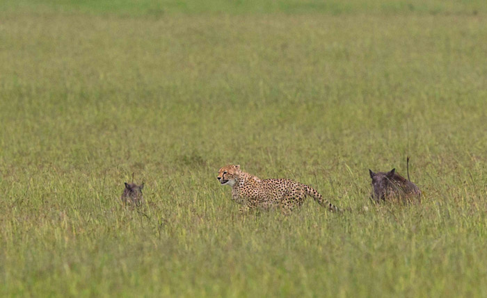 cheetah-warthogs-kenya